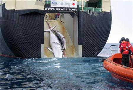A minke whale and her calf being towed up the rear ramp of the Japanese whaling vessel Yushin Maru No.2 in the Southern Ocean is seen in this handout photograph released, February 7, 2008. REUTERS/Australian Customs/Handout