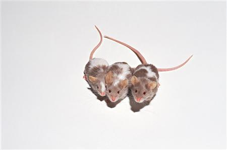 Three brown and white mice on white background are seen in this undated handout photo. (REUTERS/Newscom)