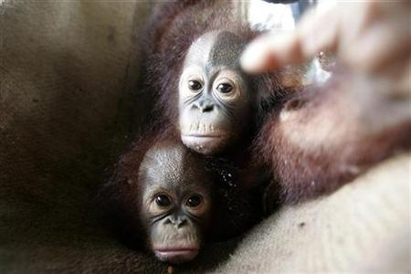 Indonesia's illegal orangutan trade on the rise - Reuters
