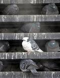 <p>Голуби прячутся от холода в вентиляционной шахте московского метрополитена 7 февраля 2006 года. Выходные в Москве и области будут достаточно прохладными, а температура воздуха ночью будет далека от летних рекордов, свидетельствуют данные Гидрометцентра России, опубликованные на сайте www.meteoinfo.ru. REUTERS/Alexander Natruskin</p>