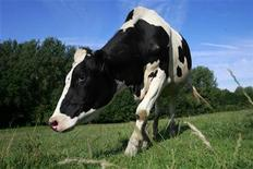 <p>A Holstein cow grazes in a pasture near the Capron family farm in Rebreuve sur Canche, northern France, July 29, 2009. REUTERS/Pascal Rossignol</p>