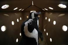 <p>Alcuni pinguini. REUTERS/Mark Wessels</p>