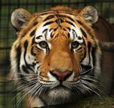 <p>Vitali, un tigre siberiano, en su jaula del zoológico de Calgary, Canadá, 5 oct 2009. Un hombre sufrió heridas en sus brazos luego de que él y un amigo saltaran durante la mañana del lunes la reja de un zoológico canadiense y metieran sus manos en la jaula del tigre, señalaron empleados del lugar. REUTERS/Todd Korol</p>