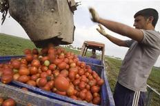 <p>Racciolta dei pomodori nel Foggiano. Sono migliaia ogni anno gli immigrati, prevalentemente africani, che lavorano da stagionali nei campi dell'Italia meridionale. A fronte del lungo orario di lavoro, vengono pagati 15-20 euro a giorno. REUTERS/Tony Gentile (ITALY POLITICS HEALTH EMPLOYMENT BUSINESS)</p>