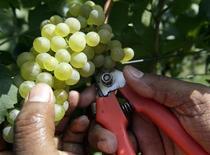 <p>Vendemmia in un vitigno in Franciacorta. REUTERS/Stefano Rellandini (ITALY FOOD SOCIETY)</p>