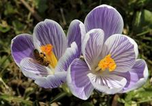 <p>A bee collects pollen in a crocus on a warm day in the Botanical Garden in Geneva March 18, 2010. REUTERS/Denis Balibouse</p>