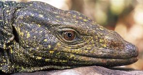 <p>A Northern Sierra Madre Forest Monitor Lizard, a dragon-sized, fruit-eating lizard that lives in the trees on the northern Philippines island of Luzon, is shown in this photograph taken in April 2005 and released to Reuters on April 6, 2010. REUTERS/Arvin Diesmos/National Museum of the Philippines/Handout</p>