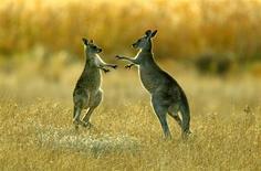 <p>Un kangourou en mal d'amour s'en est pris à des promeneuses dans le Territoire du Nord en Australie, suscitant un afflux de plaintes auprès des autorités. Selon la police locale, le kangourou a importuné plusieurs habitants des montagnes Honeymoon, situées près de la petite ville de Tennant Creek. /Photo d'archives/REUTERS</p>