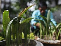 <p>A gardener takes care of saplings from what is believed to be the last naturally grown Talipalm tree - also known by the botanical name Corypha Taliera Roxburgh - at the Dhaka University campus July 27, 2010. REUTERS/Andrew Biraj</p>
