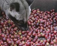 <p>A palm civet eats Arabica coffee cherries in a coffee plantation owned by state plantation firm PT Perkebunan Nusantara XII, in Situbondo in Indonesia's East Java province August 4, 2010. REUTERS/Sigit Pamungkas</p>