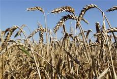<p>Пшеничное поле рядом с деревней Знаменка недалеко от Минска 11 августа 2010 года. Ученые раскрыли и выложили в открытом доступе практически весь сложный генетический код пшеницы, которая является главным продуктом потребления для трети населения мира, и говорят, что результаты открытия можно использовать для повышения урожая. REUTERS/Vasily Fedosenko</p>