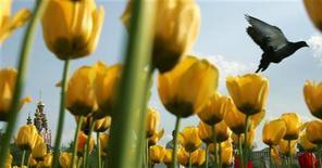 <p>Голубь пролетает над клумбой с тюльпанами, 19 мая 2007 года. Москвичей ждут солнечные и теплые выходные, ожидают синоптики. REUTERS/Denis Sinyakov</p>