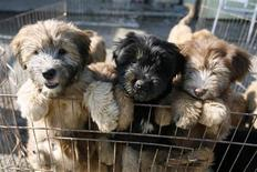 <p>Sapsaree puppies stand in their cage in Gyeongsan, South Korea October 29, 2010. Sapsarees, shaggy-haired dogs long valued for their loyalty, were killed in large numbers by the Japanese military during the period of Japanese colonial rule, but have since made a comeback thanks to Ha Ji-Hong, a U.S.-educated geneticist who combined traditional breeding with advances in modern DNA technology. REUTERS/Hyungwon Kang</p>