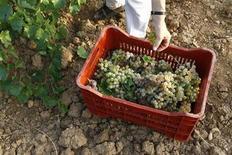 <p>A visitor harvests grapes at a vineyard in Pallini, a few kilometres from Athens, September 14, 2008. REUTERS/Yiorgos Karahalis</p>