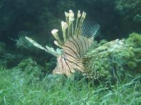 <p>A lionfish is pictured in the waters near Miami Florida, in this undated photograph released on December 29, 2010. REUTERS/REEF/Handout</p>