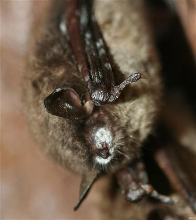 A hibernating brown bat with a white muzzle typical of white-nose syndrome is seen in this undated handout photograph released on March 31, 2011. America's bats are dying in their hundreds of thousands due to a mysterious illness called white-nose syndrome, and efforts to save them could prevent billions of dollars in agricultural losses, scientists say. REUTERS/U.S. Geological Survey/Greg Turner/Handout