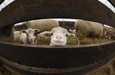<p>A Charlevoix lamb looks through a fence at the Ferme Eboulmontaise in Les Eboulements, Charlevoix May 13, 2009. REUTERS/Mathieu Belanger</p>