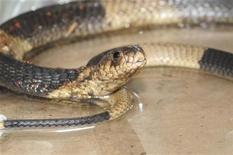 <p>A recovered Egyptian cobra is displayed at the Bronx Zoo in this handout photograph taken and released on March 31, 2011. REUTERS/Bronx Zoo/Handout</p>