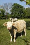 <p>Коровы пасутся на лугу близ Лиона (Франция), 19 апреля 2011 года. Австралия объявила в среду о прекращении экспорта крупного рогатого скота на ключевой для себя иностранный рынок - индонезийский. REUTERS/Benoit Tessier</p>