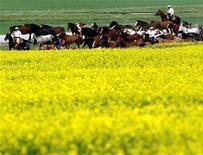 <p>Cowboys trail bronc horses past a canola field near the village of Hussar, Canada, June 30, 2005. REUTERS/Patrick Price</p>