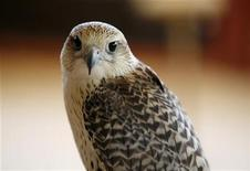 <p>Speedy, a Gyr-Merlin falcon, is seen in a Royal Shaheen enclosure on an island off the coast of Abu Dhabi May 8, 2011. REUTERS/Jumana El-Heloueh</p>