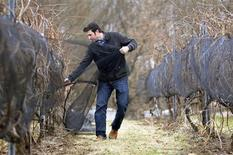<p>Jonathan Oakes removes nets from vines used to protect ice wine grapes at Leonard Oakes Estate Winery in Lyndonville, New York January 10, 2012. REUTERS/Doug Benz</p>