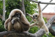 <p>Les gibbons recourent à la même technique que les chanteurs lyriques pour faire entendre leur voix à travers les forêts du sud-est de l'Asie, selon les conclusions d'une étude japonaise, au cours de laquelle les chercheurs ont étudié la variation de leur chant sous l'effet de l'hélium. /Photo d'archives/REUTERS/Leonhard Foeger</p>