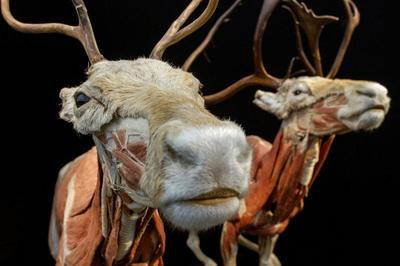 Plastinated animals