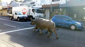 Deux buffles, qui s'étaient échappés du tournage d'un spot publicitaire dans un parc, ont dévalé les rues de Sydney, en Australie, avant d'être capturés par les pompiers. /Photo prise le 25 mars 2014/REUTERS/Abril Felman
