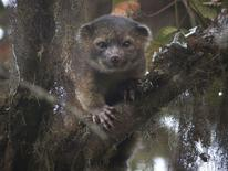 """Un olinguito ou """"chat-ours"""", mammifère carnivore de deux kilos vivant dans les forêts de Colombie et d'Equateur. Ce drôle d'animal entre chat et ourson aux grands yeux figure parmi les dix nouvelles espèces les plus étonnantes découvertes l'an dernier, avec un serpent sans yeux vivant dans le noir à plus de 900 mètres sous terre en Croatie. /Photo diffusée le 21 mai 2014/REUTERS/SUNY College of Environmental Science and Forestry"""