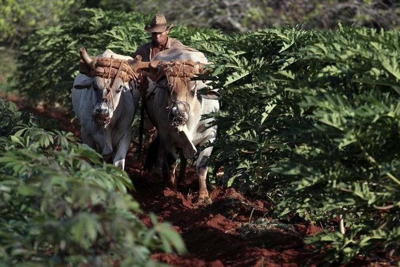 A farmer plows the land with two oxen in Caimito March 28, 2014. REUTERS/Jorge Luis Banos
