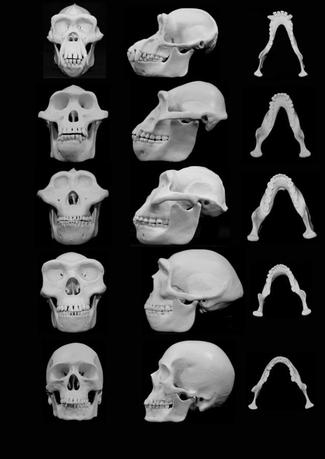 University of Utah handout image shows frontal and lateral views of skull reconstructions comparing chimpanzees with four hominins: Pan troglodytes (top row), Australopithecus afarensis (second row from top) Paranthropus boisei (third row from the top), Homo erectus (second row from bottom), and Homo sapients (bottom row). Two University of Utah researchers proposed on Monday that the face of the ancestors of modern humans evolved millions of years ago in a way that would limit injuries from punches to the face during fist fights between males. REUTERS/University of Utah/Handout via Reuters