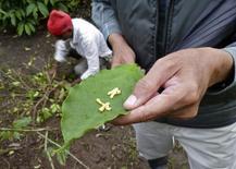 Фермер демонстрирует личинки жуков-стеблеедов на листе кофе в Мадикери, Индия 17 июня 2014 года. REUTERS/Rajendra Jadhav
