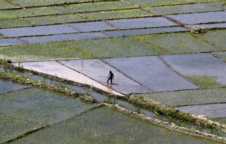 A Kashmiri farmer walks through a paddy field in Bandipora, north of Srinagar June 10, 2014. REUTERS/Danish Ismail/Files