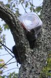 A bear cub who had to be rescued from a tree after getting his head stuck in a cookie jar is shown in this handout provided by the New Jersey Department of Environmental Protection July 1, 2014.  REUTERS/New Jersey Department of Environmental Protection/Handout via Reuters