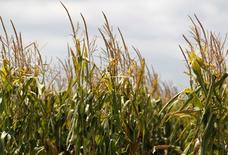 Imagen de archivo de un maizal en Totoras, Argentina, feb 1 2012. La producción de maíz de Argentina del ciclo 2014/15 caería hasta un 23 por ciento, respecto de la temporada previa, presionada por los bajos precios internacionales del cereal, la elevada inflación del país y las regulaciones sobre el sector, dijeron especialistas agropecuarios. REUTERS/Enrique Marcarian