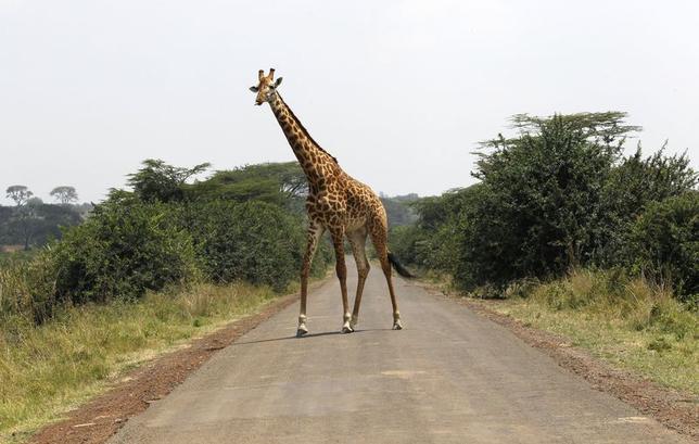 9月30日、世界自然保護基金が発表した2年に1度のリポートによると、1970─2010年に野生生物(脊椎動物)の個体数が世界で52%減少した。写真はケニアのナイロビ国立公園で19日撮影(2014年 ロイター/Thomas Mukoya)