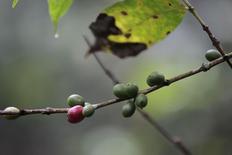 Una planta de café infectada con roya en la cooperativa Chahuite en San Salvador. Imagen de archivo, 26 septiembre, 2014. Los venados ahora pasean libremente y la maleza crece en terrenos agrícolas desiertos en El Salvador, donde Julio Portillo solía cultivar granos de café arábigo hasta que un devastador hongo de roya lo forzó a abandonar el café este año por primera vez en más de dos décadas. REUTERS/Jose Cabezas