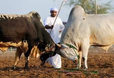 A man tries to stop two bulls from locking horns during a bullfight in the eastern emirate of Fujairah October 17, 2014.  REUTERS/Ahmed Jadallah