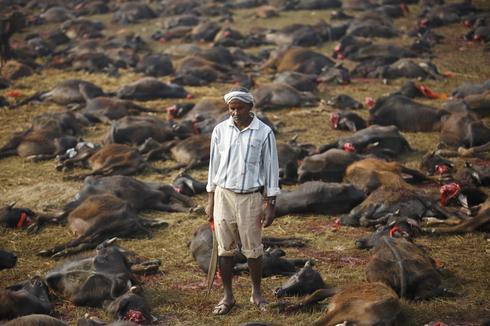 尼泊尔屠杀动物献祭引发抗议 Nepal