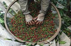 Un trabajador selecciona granos de café de una plantación en Espirito Santo do Pinhal. Imagen de archivo, 18 mayo, 2012.  Operadores en Asia esperan que las proyecciones de una baja en la cosecha de café durante la temporada 2015/16 en el principal productor del grano, Brasil, lleve a más tostadurías a cambiarse a la variedad robusta que está siendo cultivada en Vietnam e Indonesia. REUTERS/Nacho Doce