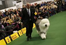 Swagger, an Old English Sheepdog, walks with his co-owner and handler Colton Johnson during judging in the Herding Group at the 139th Westminster Kennel Club's Dog Show in the Manhattan borough of New York February 16, 2015.  REUTERS/Mike Segar
