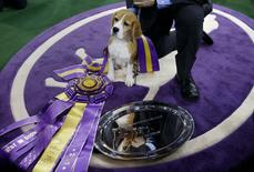 "Miss P, a 15-inch Beagle who won ""Best in Show"", stands near the winner's trophy at 139th Westminster Kennel Club Dog Show at Madison Square Garden in the Manhattan borough of New York February 17, 2015. REUTERS/Shannon Stapleton"