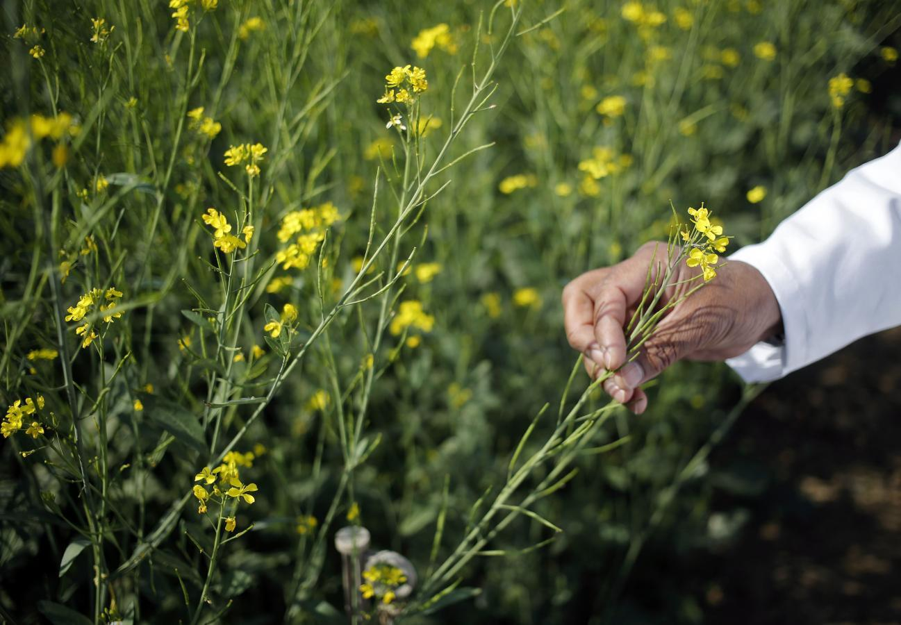 Modi bets on GM crops for India's second green revolution