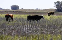 Imagen de archivo de unas vacas pastando sobre un sojal inundado en Bolívar, Argentina, sep 10 2014. Las inundaciones registradas en áreas agrícolas clave de Argentina tras un mes de febrero extremadamente lluvioso podrían causar pérdidas de hasta 2,5 millones de toneladas en la cosecha de soja del ciclo 2014/15, dijeron expertos.     REUTERS/Enrique Marcarian