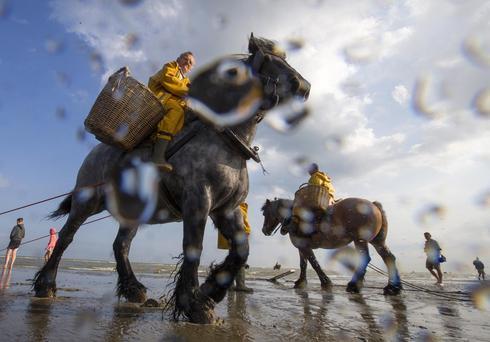 Shrimp fishing by horse