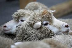 A flock of Exmoor Horn sheep are penned in Savile Row, London, Britain October 5, 2015. REUTERS/Peter Nicholls