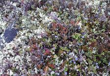 Wild blueberries and lichen grow on the tundra at the Kennady Diamonds exploration camp in the Northwest Territories in this picture taken September 25, 2015.  REUTERS/Susan Taylor