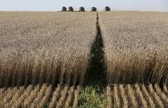 Комбайны собирают урожай на пшеничном поле недалеко от Красноярска.  Россия незначительно сократила посев озимых в 2015 году - до 16,6 миллиона гектаров - по сравнению с прошлым годом, сказал директор департамента растениеводства Минсельхоза РФ Петр Чекмарев в среду. REUTERS/Ilya Naymushin