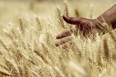 Пшеничное поле в Египте. 23 апреля 2013 года. Продовольственная и сельскохозяйственная организация ООН (ФАО) прогнозирует снижение производства пшеницы в 2016 году на 10 процентов до 723 миллиона тонн относительно рекордно высокого показателя 2015 года. REUTERS/Mohamed Abd El Ghany